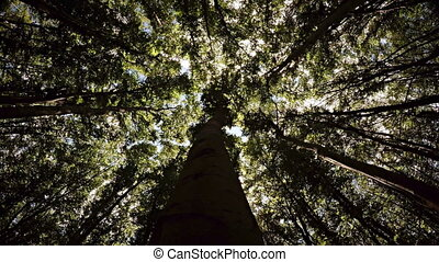 Looking Skyward along the Trunk of a Tree in the Forest