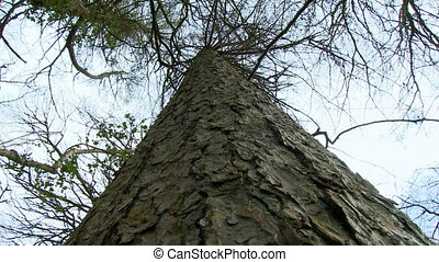 Looking straight up the trunk of a pine tree - Low angle...