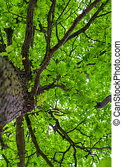 Looking up an oak tree crown with spring green foliage