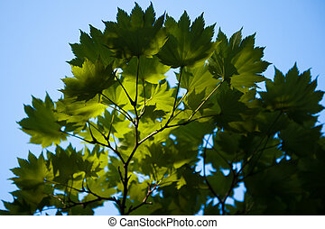 Looking up at a beautiful backlit tree
