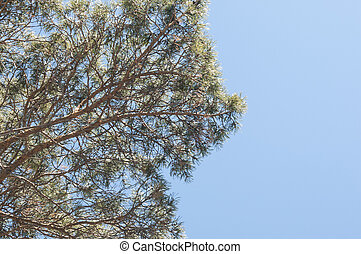 looking up at a pine tree, green pine needles against a blue sky
