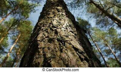 Looking up at pine tree tops against clear blue sky in the coniferous forest. Low angle view