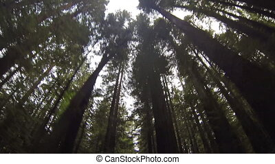 Looking Up at Redwood Trees - Looking up at Redwood trees in...