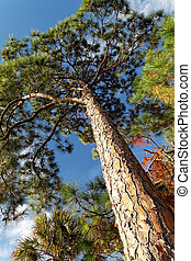 Looking up at a Slash Pine Tree under blue sky