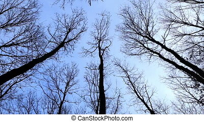Looking up at the oak trees in winter