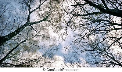 Looking Up At Trees And Sky - Tree branches spread out and...