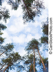 Looking up forest perspective. Tall pine trees against blue sky seen from the ground. Bottom view of tall old trees in evergreen primeval forest of nature reserve. scenic view of very big and tall tree