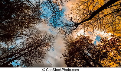 Looking up in a birch trees, Beautiful nature background...