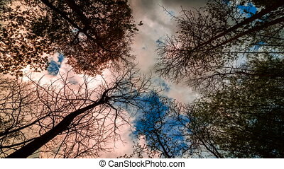 Looking up in a birch trees. Time lapse. Beautiful nature...