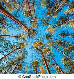 Looking Up In Autumn Pine Coniferous Forest Tree To Canopy....