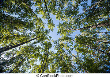 Looking up in Forest - Green Tree branches nature abstract