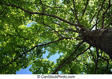 Looking up into tree foliage