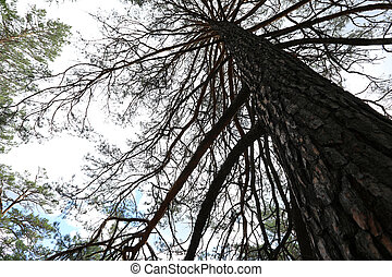 looking up of a big pine tree
