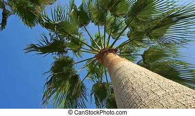 Looking up the trunk of a palm tree into the crown of green...