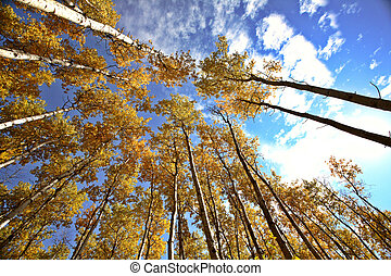 Looking up through Aspen trees in fall