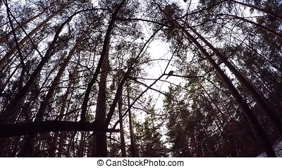 Looking Up to Blue Sky Framed by Forest Tree Tops. the edge...