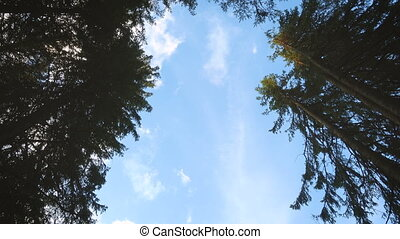Looking up to the sky with the clouds through the fir trees