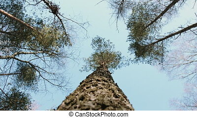 Looking up trees - Looking up to the pine tree