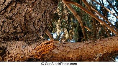 Looking upwards at old pinewood tree branches, moving camera...