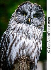 Looking Ural owl - Bird Ural owl (Strix uralensis) on tree
