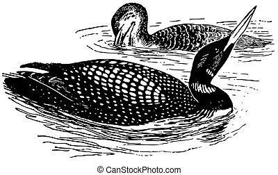 loon, grande, uccelli, settentrionale
