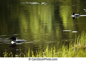 Loon on Remote and Reflective Mountain Lake - Okanagan...