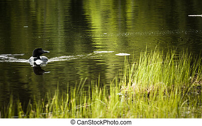 Loon on Remote and Reflective Mountain Lake - Okanagan ...