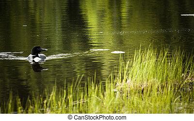 Loon on Remote and Reflective Mountain Lake - Okanagan...