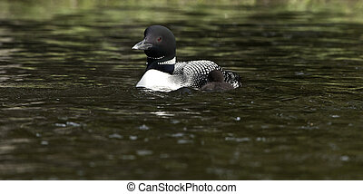 Loon Parent and Baby