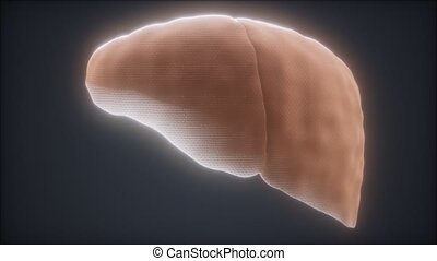 loop 3d rendered medically accurate animation of the human liver