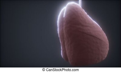 loop 3d rendered medically accurate animation of the human lung