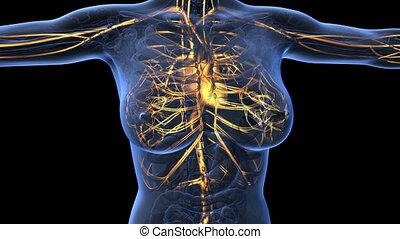 loop science anatomy of woman body