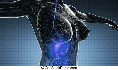 loop science anatomy scan of human digestive system glowing
