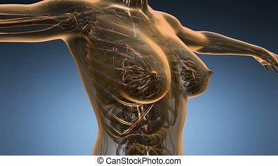 anatomy scan of woman blood vessels - loop science anatomy...