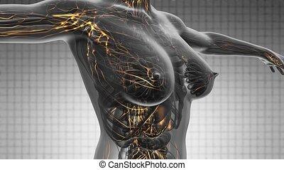 loop science anatomy scan of woman
