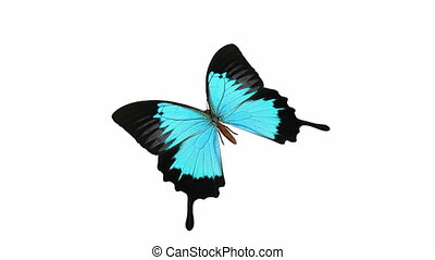 Looping Butterfly Animation 2