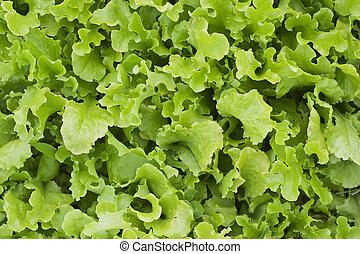 Loose leaf lettuce - A bed of loose leaf lettuce