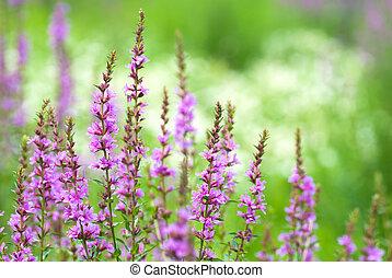 Loosestrife flower - Purplish red loosestrife flower in the...