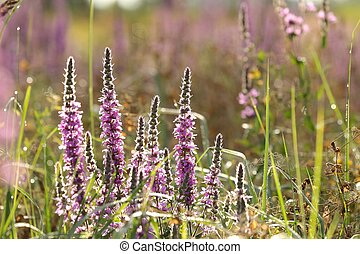 Loosestrife (Lythrum salicaria) in the meadow.