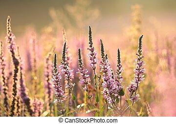 Loosestrife (Lythrum salicaria) on a meadow
