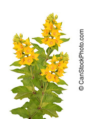 Loosestrife - Bouquet of three yellow loosestrife isolated...