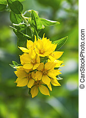 Loosestrife - This image shows a macro from a loosestrife