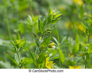 Loosestrife - Yellow loosestrife
