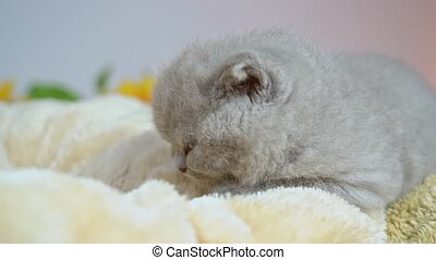 Lop-eared British kitten falling asleep on a pillow, blanket...