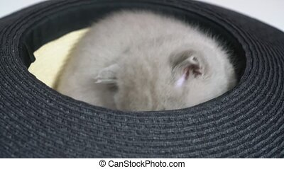 Lop-eared British kitten sitting in a hat licks himself, ...