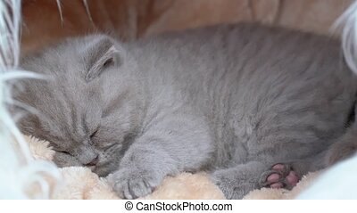 Lop-eared British kitten sleeping on a blanket. Close-up. - ...