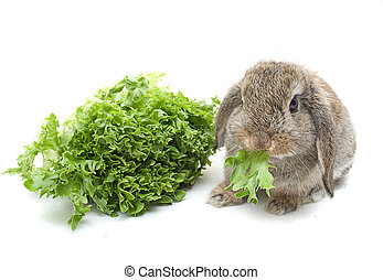 Lop eared rabbit eating lettuce