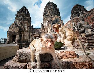 lopburi, thailand., apa, (, crab-eating, eller, long-tailed,...