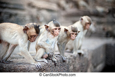 Lopburi Thailand. Monkey ( Crab-eating or Long-tailed...