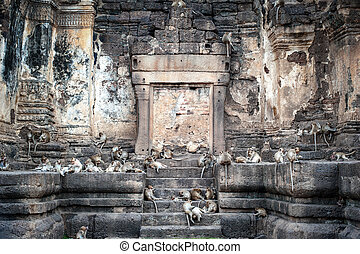 lopburi, thailand., mono, (, crab-eating, o, long-tailed,...
